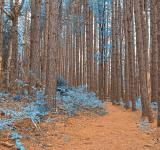 Free Photo - Cranesville Swamp Pine Trail - Sapphire Fantasy HDR