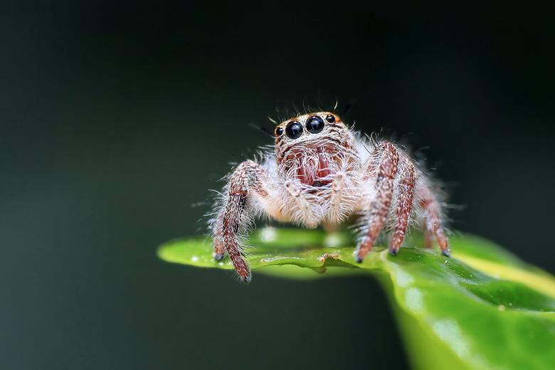 Curious Jumping Spider Free Insect Stock Photos
