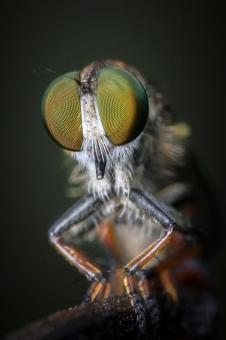 Robber fly - Free Stock Photo