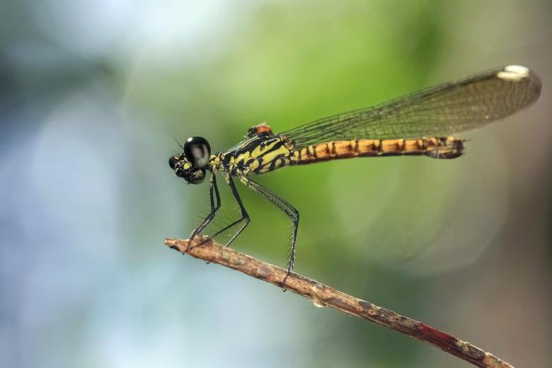 Free Stock Photo of Damselfly Created by Ronny Overhate