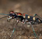 Free Photo - Tiger beetle bee