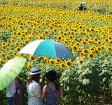 Free Photo - People in a Sunflower Field