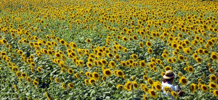 Person in a Sunflower Field - Free Stock Photo