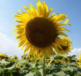 Free Photo - Single Sunflower on Blue Sky Background