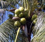 Free Photo - Coconuts in tree