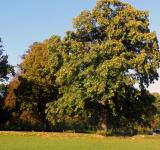 Free Photo - Sweet chestnut tree