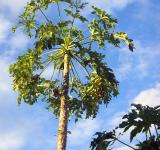Free Photo - Papaya tree and fruit