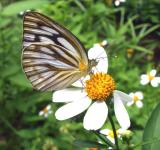 Free Photo - Painted jezebel butterfly