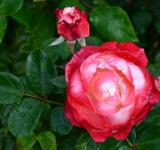 Free Photo - Hybrid tea rose