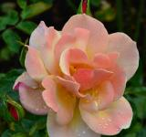 Free Photo - Tea rose