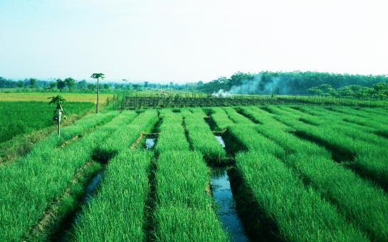 Green Paddy Field - Free Stock Photo