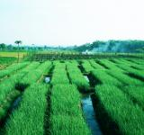 Free Photo - Green Paddy Field