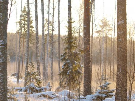 Frozen forest - Free Stock Photo