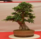 Free Photo - Korean hornbeam bonsai