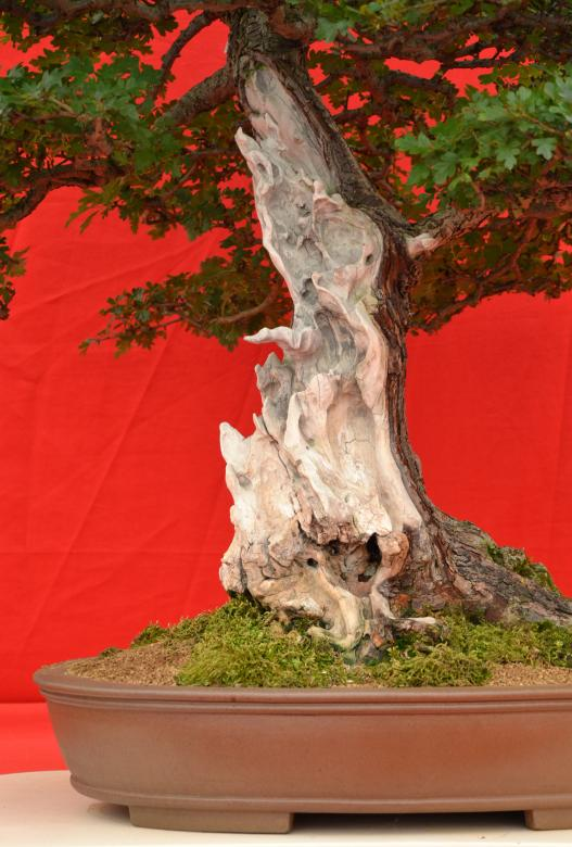 Free stock image of Shari on bonsai tree created by Tomas Adomaitis