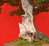 Free Photo - Shari on bonsai tree