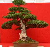 Free Photo - Common hawthorn bonsai with shari
