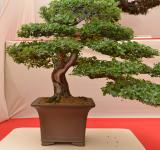 Free Photo - Common hawthorn bonsai
