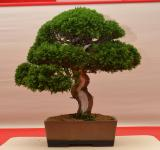 Free Photo - Chinese juniper bonsai