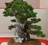 Free Photo - Chinese juniper over rock bonsai