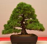 Free Photo - Japanese white pine