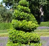 Free Photo - True laurel topiary