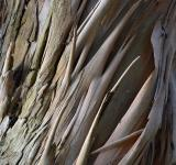 Free Photo - Eucalyptus perriniana bark