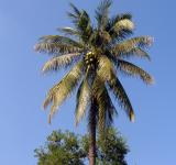 Free Photo - Palm tree and coconuts