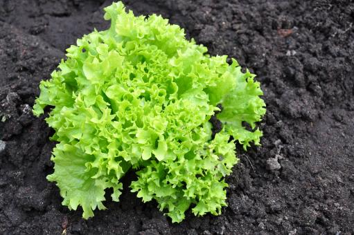 Lettuce in the garden - Free Stock Photo