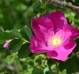 Free Photo - Rugosa rose