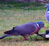 Free Photo - Wood Pigeon