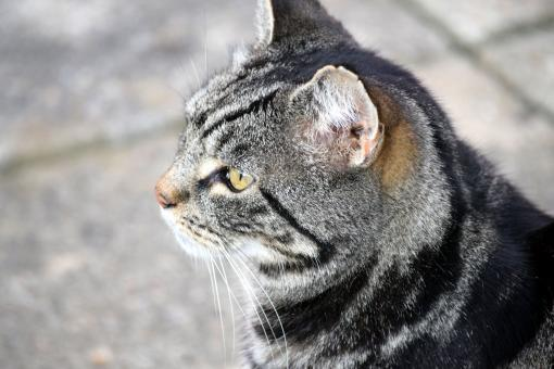 Tabby cat - Free Stock Photo