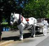 Free Photo - White horse carriage