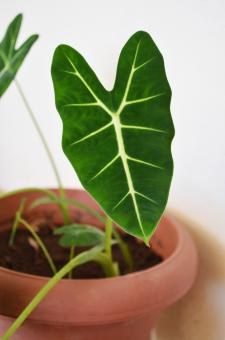 heart-shaped leaf - Free Stock Photo