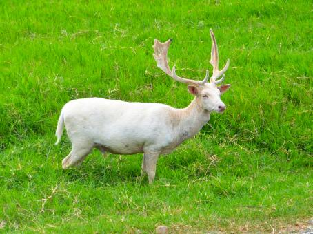 White deer - Free Stock Photo