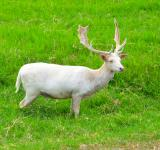 Free Photo - White deer