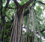 Free Photo - Aerial Roots