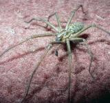 Free Photo - British House Spider