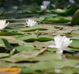 Free Photo - Water Lilies