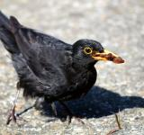 Free Photo - Male blackbird