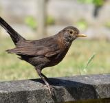 Free Photo - Female Blackbird