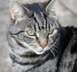 Free Photo - Tabby cat