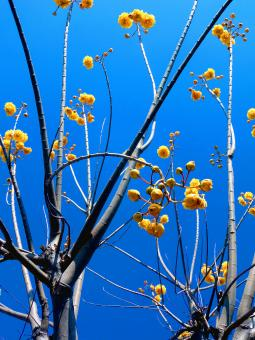 Yellow flowers on a leafless tree - Free Stock Photo