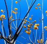 Free Photo - Yellow flowers on a leafless tree