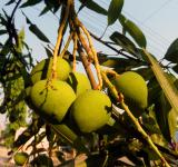 Free Photo - Mangoes