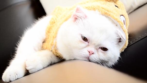 Exotic shorthair - Free Stock Photo