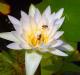 Free Photo - Bees on Lotus Flower
