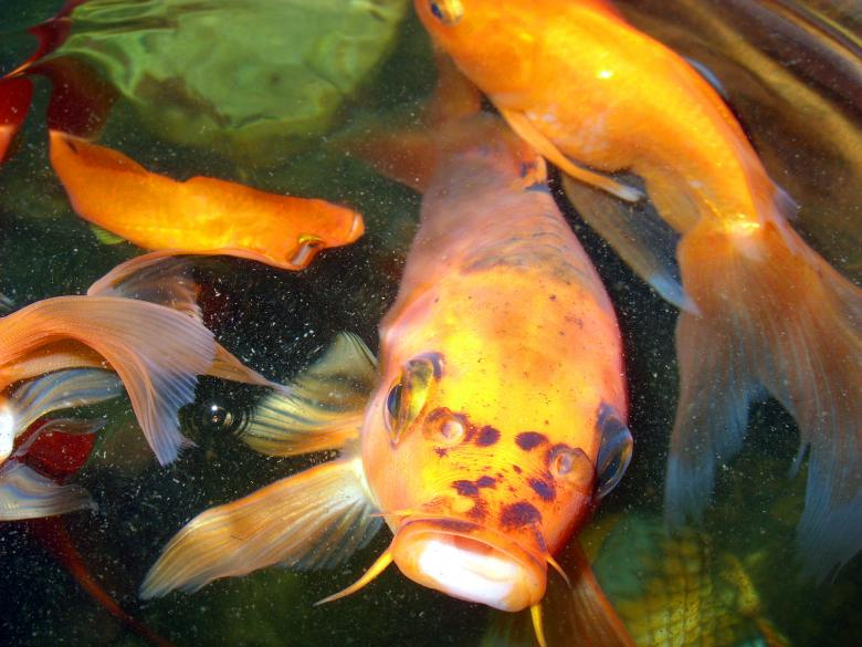 Goldfish free stock photo by chas mac on for Golden ornamental pond fish crossword