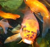 Free Photo - Goldfish