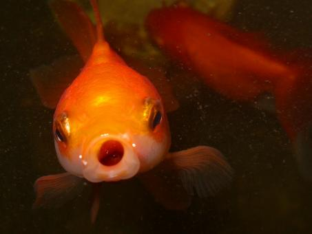 Goldfish face - Free Stock Photo
